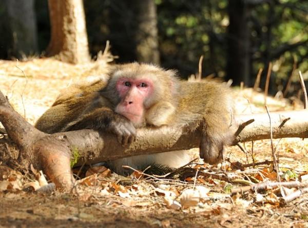 Makaken Affenberg Landskron